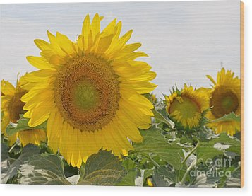 Wood Print featuring the photograph Sunflower by Cheryl McClure