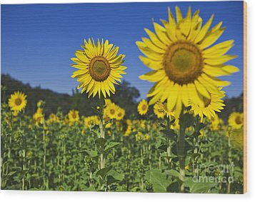 Sunflower Wood Print by Dennis Flaherty and Photo Researchers