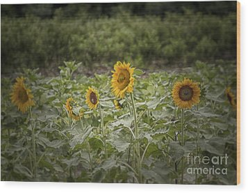 Wood Print featuring the photograph Sunflower Driveby by Vicki DeVico
