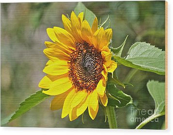 Wood Print featuring the photograph Sunflower by Eve Spring