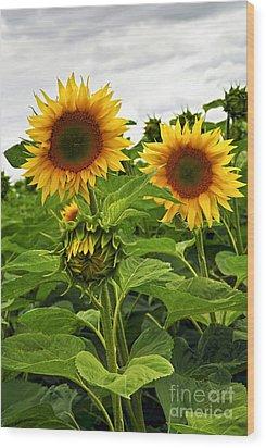 Sunflower Field Wood Print by Elena Elisseeva