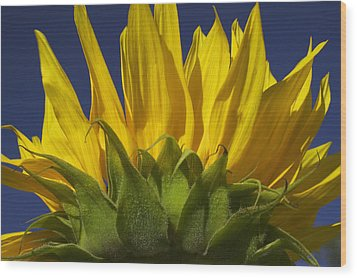 Sunflower Wood Print by Garry Gay