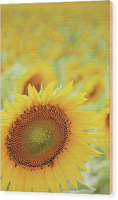 Sunflower In Field Wood Print by Dhmig Photography