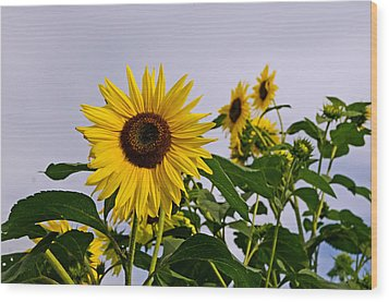 Sunflower In The Setting Sun Wood Print by Richard Bramante