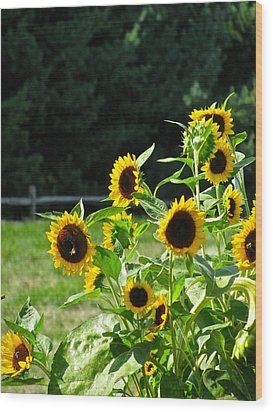 Sunflower Patch Wood Print by Debra     Vatalaro