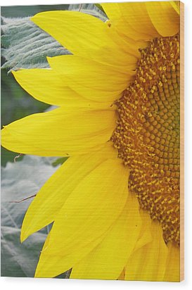 Sunflower Sun Wood Print
