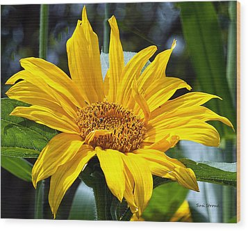 Wood Print featuring the photograph Sunflower by Susi Stroud