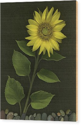 Sunflower With Rocks Wood Print by Deddeda