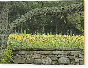 Sunflowers 1 Wood Print by Ron Smith