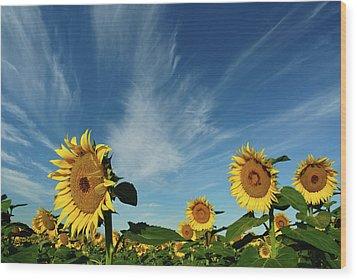 Sunflowers Wood Print by Robin Wilson Photography