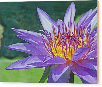 Sunny Purple Waterlily Wood Print by Becky Lodes