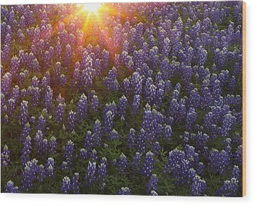 Sunset Over Bluebonnets Wood Print