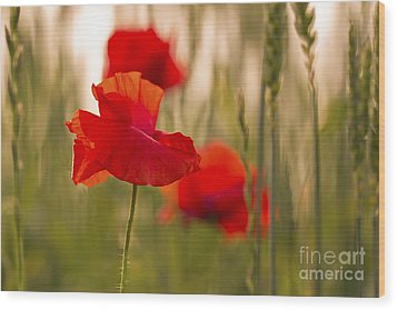 Wood Print featuring the photograph Sunset Poppies. by Clare Bambers