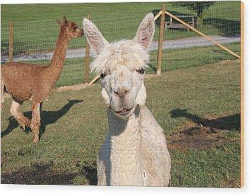 Wood Print featuring the photograph Suri Alpaca Number 2 by Paula Tohline Calhoun