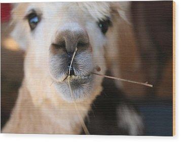 Wood Print featuring the photograph Suri Alpaca Number 6 by Paula Tohline Calhoun