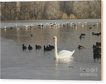 Swan And Ice Wood Print by John Chatterley