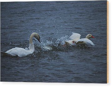 Wood Print featuring the photograph Swan Attack by Brian Stevens