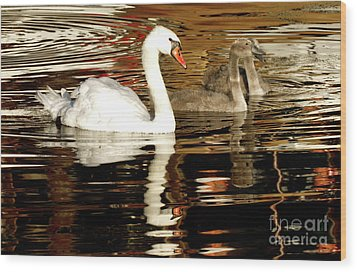 Swan Family In Evening Wood Print