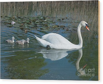 Swan With Cygnets Wood Print by Andrew  Michael