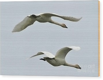 Swans Flying South Wood Print by Diane Folaron