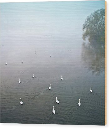 Swans In Log On River Neckar Wood Print by Ulrich Mueller