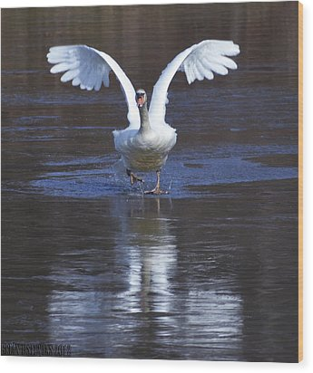 Wood Print featuring the photograph Swans On Ice 2 by Brian Stevens