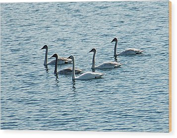 Swans Swimming Wood Print by Aimee L Maher Photography and Art Visit ALMGallerydotcom