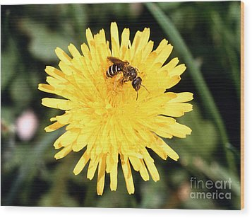 Sweat Bee Wood Print by Science Source