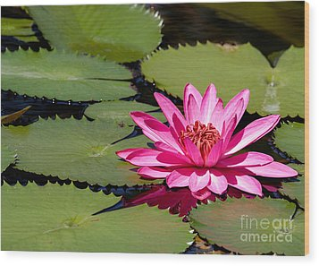 Sweet Pink Water Lily In The River Wood Print by Sabrina L Ryan