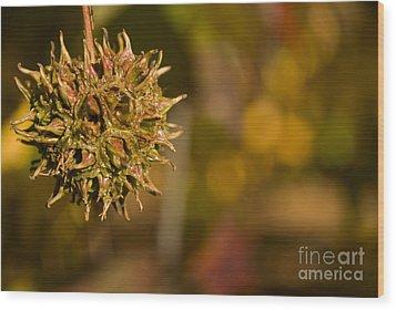 Sweetgum Seed Pod Wood Print by Heather Applegate