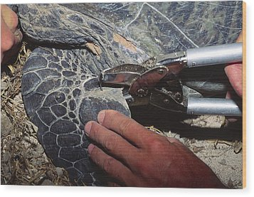Tagging A Turtle Wood Print by Alexis Rosenfeld