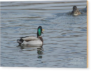 Wood Print featuring the photograph Talking Mallard by Mark McReynolds