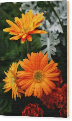 Tangerine Colored Gerbera Daisies Wood Print by Kay Novy