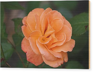 Tangerine Rose Wood Print