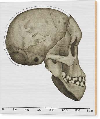 Taung Child Skull Wood Print by Sheila Terry
