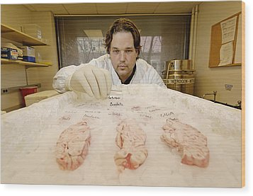 Technician Examines Human Brain Sections Wood Print by Volker Steger