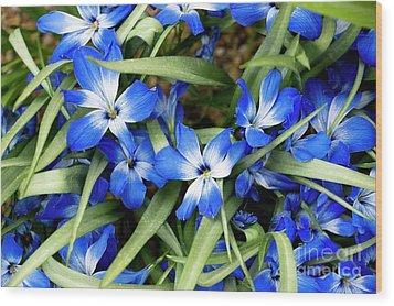 Tecophilaria Cyanocrocus Wood Print by Bob Gibbons