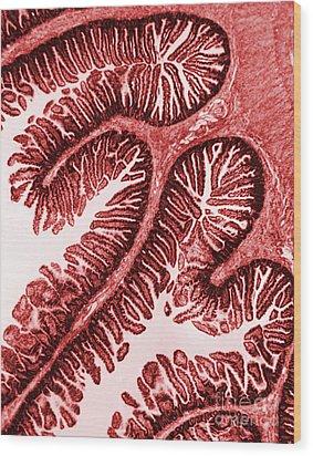 Tem Of Intestinal Villi Wood Print by Science Source