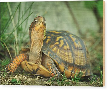 Terrapene Carolina Eastern Box Turtle Wood Print by Rebecca Sherman
