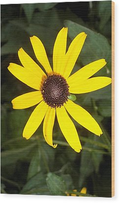 Wood Print featuring the photograph The Beauty Of A Single Daisy by Shawn Hughes