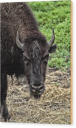 The Bison Stare Wood Print by Karol Livote