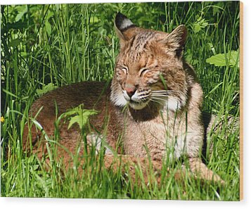 Wood Print featuring the photograph The Bobcat's Afternoon Nap by Laurel Talabere