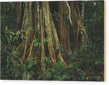 The Buttressed Roots On A Strangler Fig Wood Print by Steve Winter