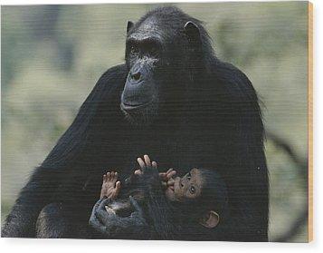 The Chimpanzee Rafiki With Her Twins Wood Print by Michael Nichols