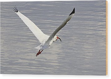 The Graceful White Ibis Wood Print by Becky Lodes