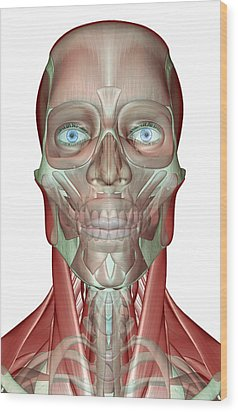 The Musculoskeleton Of The Head, Neck And Face Wood Print by MedicalRF.com