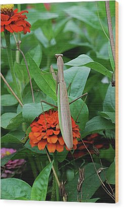 Wood Print featuring the photograph The Patience Of A Mantis by Thomas Woolworth