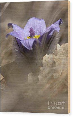 The Pulsatilla Wood Print by Odon Czintos