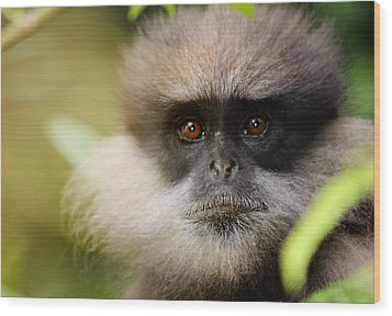The Purple-faced Langur. Nuwara Eliya.sri Lanka Wood Print by Jenny Rainbow