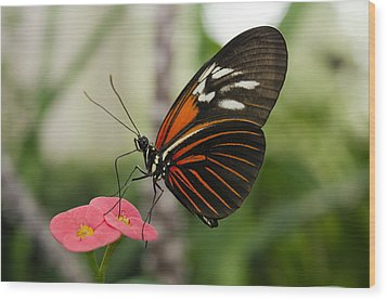 The Red Admiral  Wood Print by MaryJane Armstrong